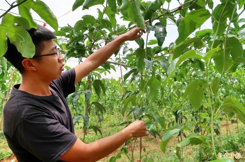 農民發現可能有問題的百香果株,長大後的莖節過長,缺乏側芽,影響開花與結果。(記者佟振國攝)