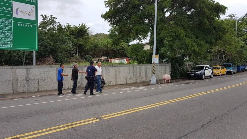 民眾指引員警找到逛街的豬。(記者張瑞楨翻攝)