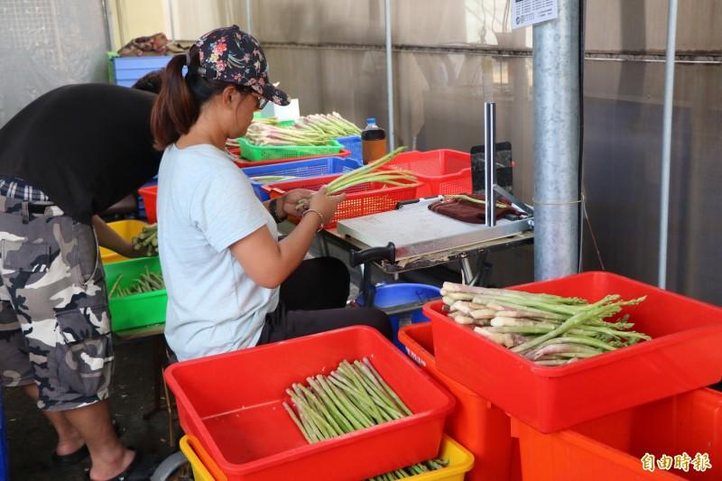 農民將蘆筍採收下來後還不能休息,需趕緊處理分級包裝、保鮮,才能把好吃的蘆筍送到消費者的餐桌上。(記者萬于甄攝)
