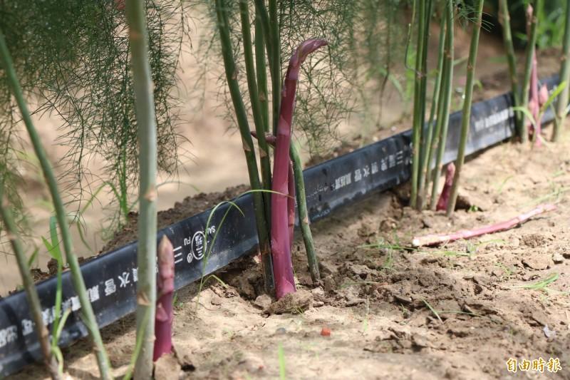 王彥鈞也嘗試種植紫蘆筍。(記者萬于甄攝)