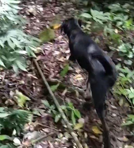 土狗突然離開路徑衝向樹林,一看之下竟然發現一具白骨。(記者鄭景議翻攝)