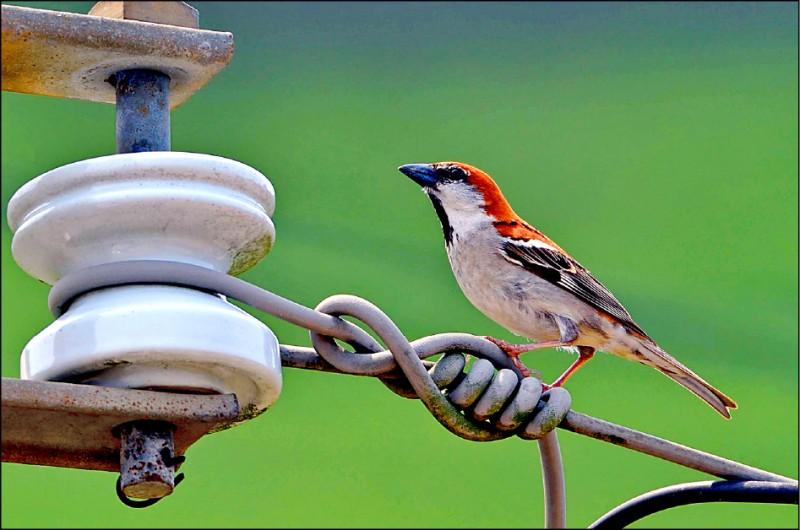 山麻雀原為台灣常見鳥類,但20年來,其分布範圍大幅縮減,全台數量估計不到1000隻,屬瀕臨絕種動物。(圖:嘉義林管處提供)