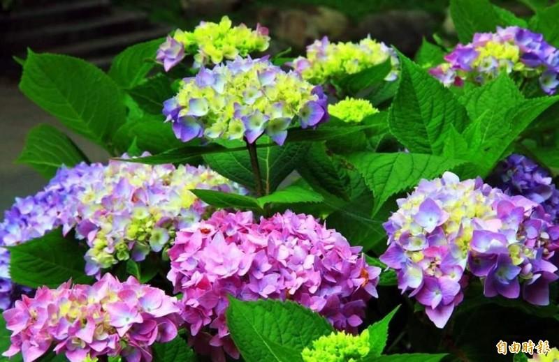 南投縣杉林溪森林生態渡假園區繡球花盛開,五顏六色,美不勝收。(記者謝介裕攝)