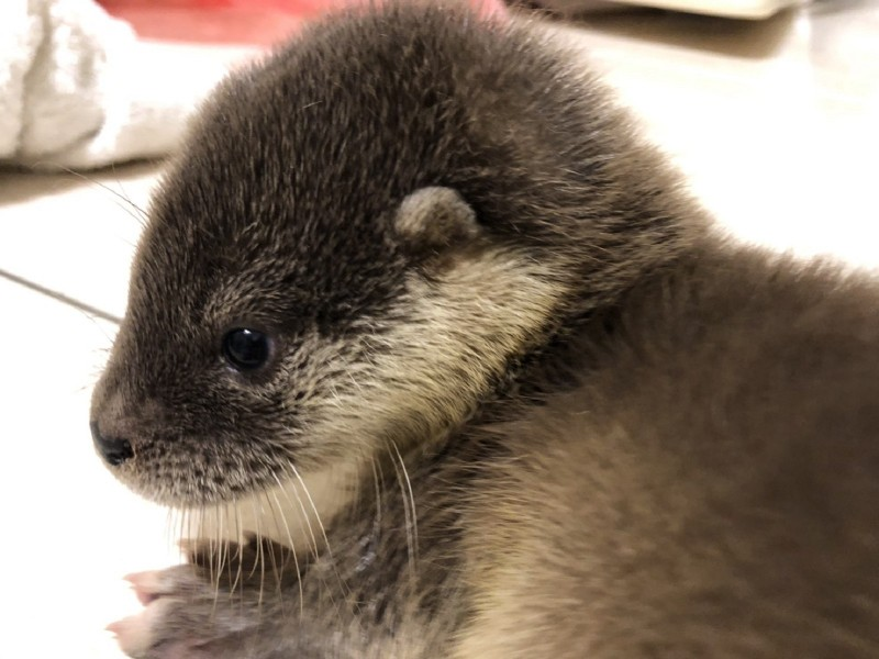 救傷歐亞水獺寶寶命名票選,最終由「金萌」以1075票勝出。(台北市立動物園提供)