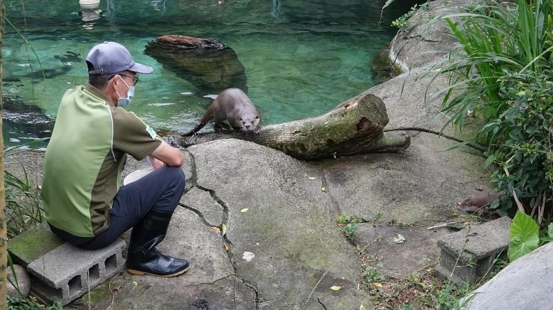 被保育員稱為暖男的「大金」,對於新來的小妹妹非常照顧。(台北市立動物園提供)