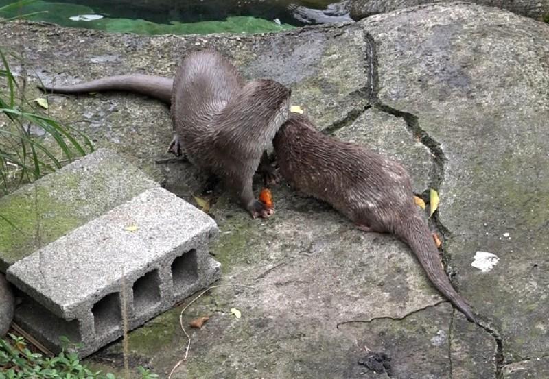 「大金」和「金萌」分享鮮魚。(台北市立動物園提供)