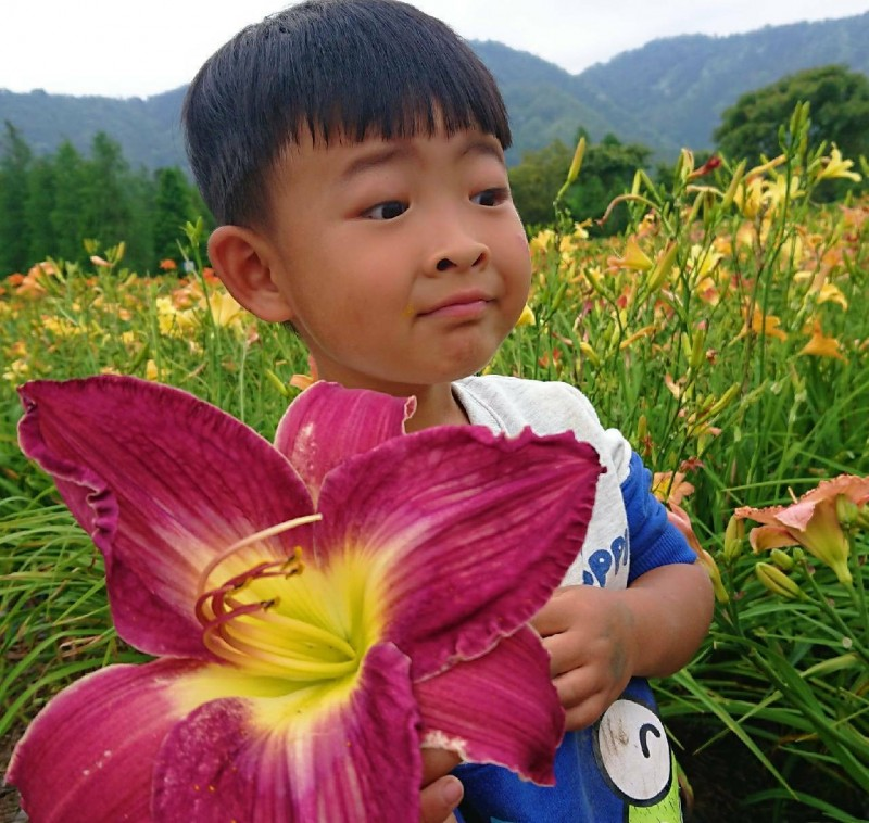 日月潭風景區頭社盆地彩色金針花,有些初綻花朵的大小,堪比兒童臉龐,相當新奇。(記者劉濱銓翻攝)