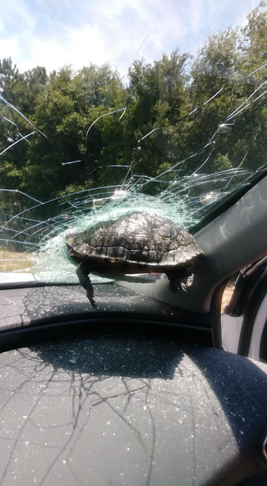 美國一名女子菈克(Latonya Lark)日前在高速公務駕車時,突然遭一隻不知從哪飛來的烏龜迎面撞上,撞碎了車子的擋風玻璃,並且卡在上面,而菈克的弟弟也被碎裂飛出的擋風玻璃割傷。(擷取自Latonya Lark臉書)