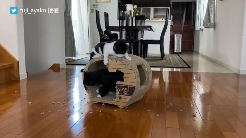 兩隻貓合作,動嘴拆了紙板窩一面牆。(圖片由Twitter帳號fuji_ayako授權提供使用)