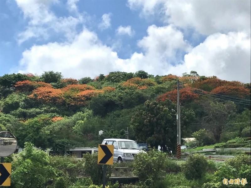 鳳凰花開滿枝頭,將鳳山丘陵染成一片火紅。(記者洪臣宏攝)