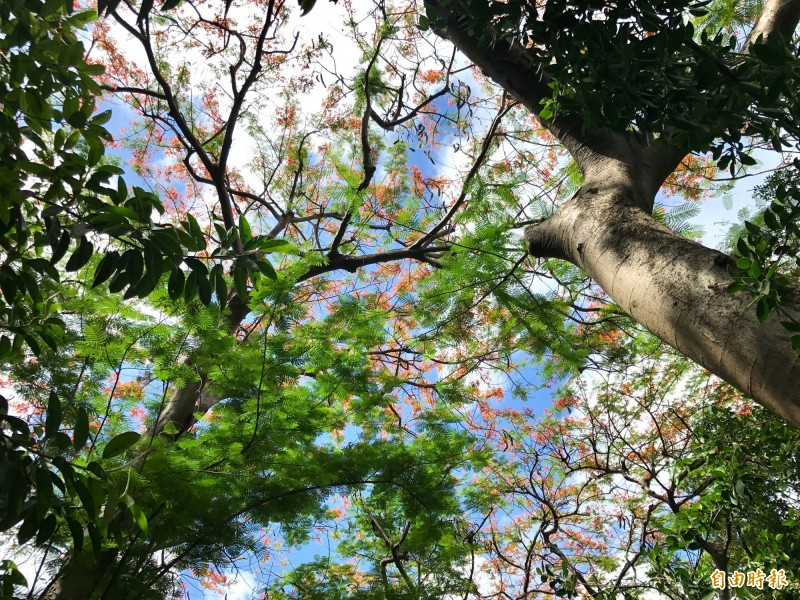 高聳鳳凰木為登山步道消散不少暑氣。(記者洪臣宏攝)