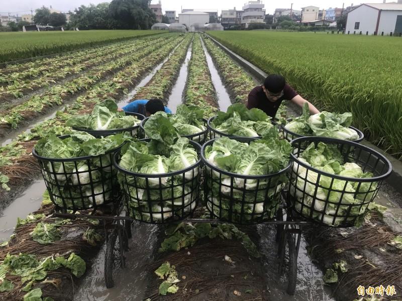 農民冒雨採收包心白菜。(記者顏宏駿攝)