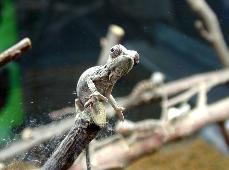 變色龍寶寶現在約2週大,就像人類小朋友一樣,非常頑皮。(台北市立動物園提供)