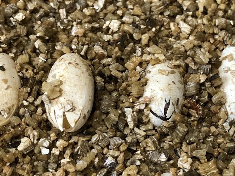 23顆蛋全數孵化,孵化率高達100%。(台北市立動物園提供)