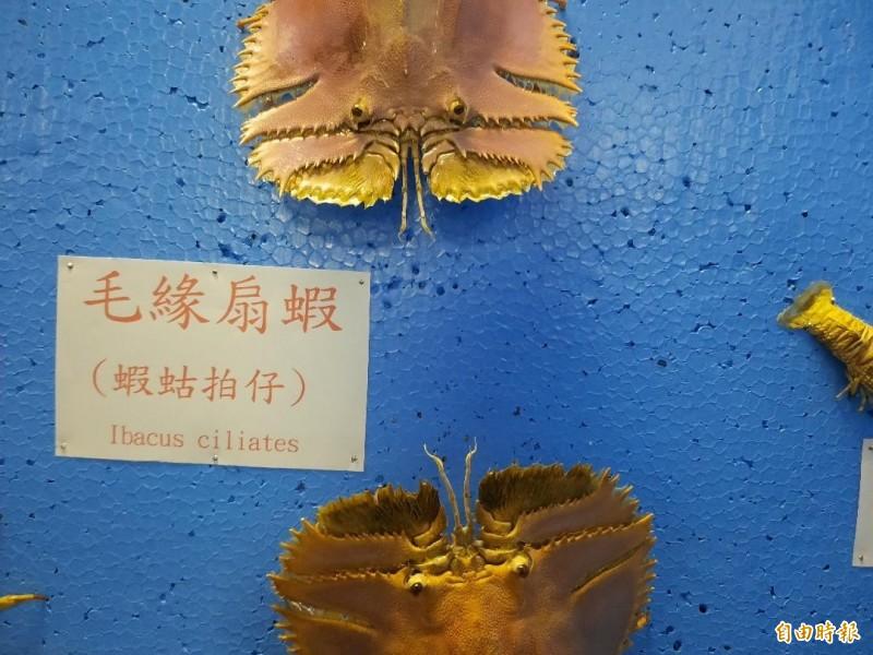 蝦蛄拍仔前緣是鋸齒狀,市價每公斤千元。(記者劉禹慶攝)