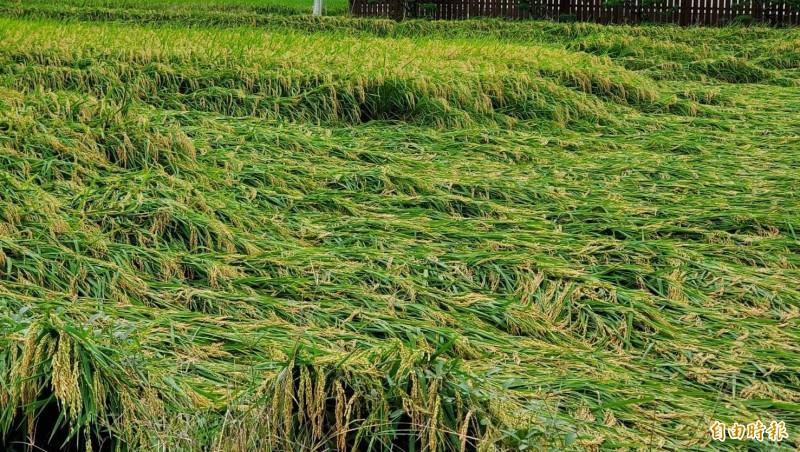 高市累計農業損失金額破500萬元,以水稻倒伏最為嚴重。(記者陳文嬋攝)
