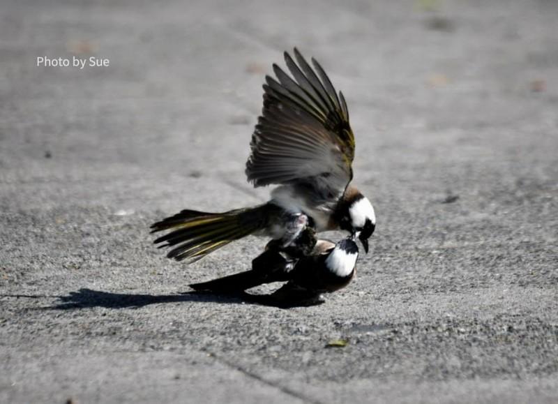 兩隻白頭翁正在地面上纏鬥扭打。(拍鳥俱樂部吳素娥提供)