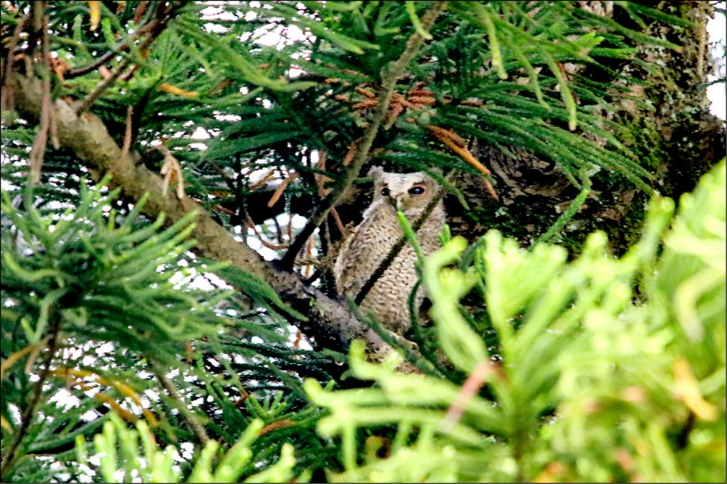 永福國小從五月底直到九月,校園內南洋杉等喬木,幾乎天天都能看到貓頭鷹的蹤影。(記者李容萍翻攝)
