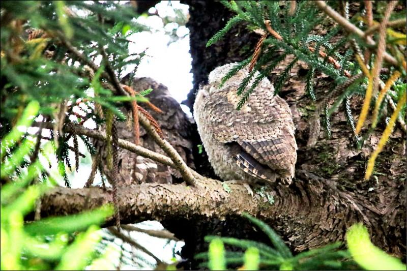 永福國小校園的南洋杉出現貓頭鷹站崗。(記者李容萍翻攝)