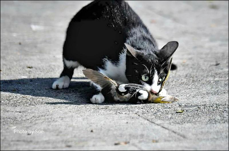 兩隻白頭翁正在地面上纏鬥扭打,這隻貓突然現身一口咬住兩隻白頭翁。(圖:吳素娥提供)