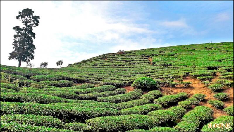 梅山鄉太平村的茶園美景。(記者林宜樟攝)