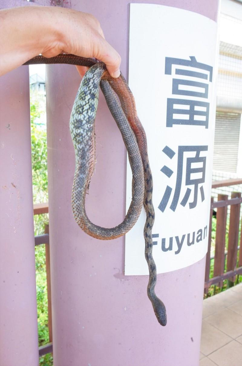 為了覓食,爬上台鐵富源車站的電車線桁架上的保育類黑眉錦蛇慘遭電死,經解剖肚子內吞下一隻小斑鳩。(記者花孟璟攝)