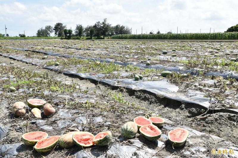 雲林四湖鄉西瓜田因上週大雨浸水,整片六分多受災無法採收。(記者黃淑莉攝)