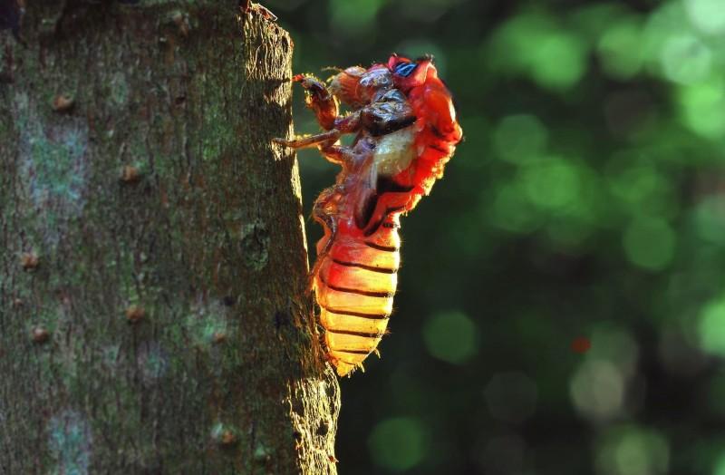 黑翅蟬羽化成蟲,脫離原來的殼。(洪逢彬提供)