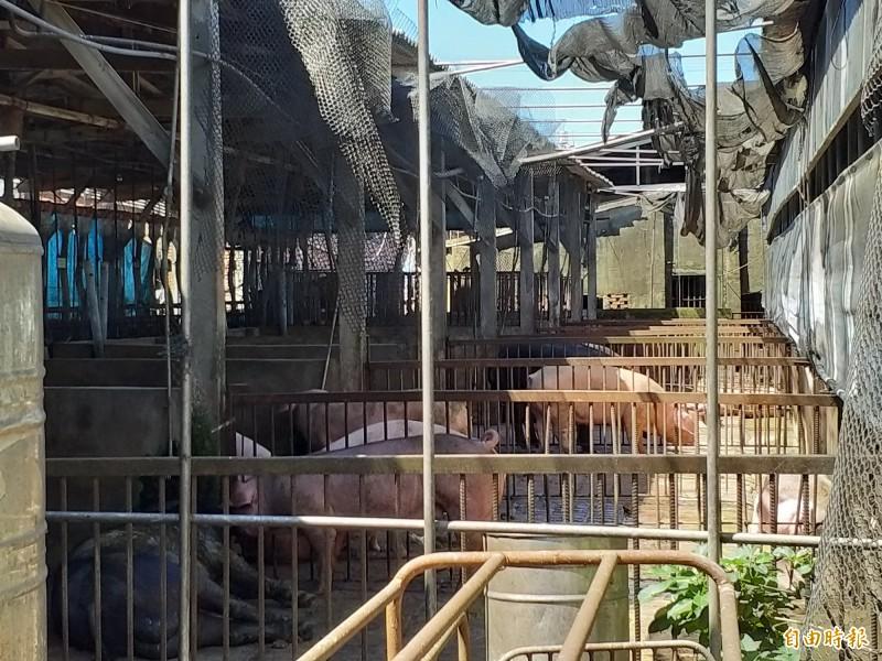 佳佳牧場目前是新竹縣規模最大的養豬場,現有約2500頭豬,每頭豬每日用水約20公升,用水量龐大;因此減少廢水排放,對牧場相當有幫助。 (記者廖雪茹攝)