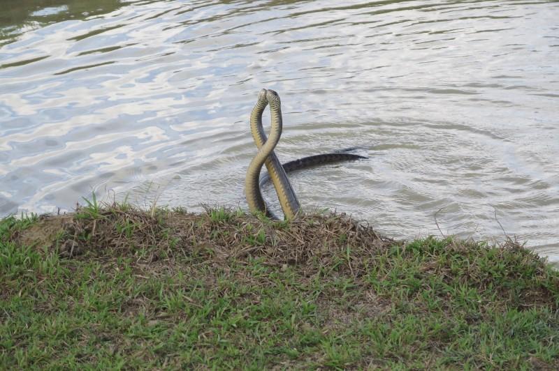 兩隻南蛇應該都是公蛇,可能在爭地盤,或在搶奪交配權。(楊政峰提供攝)