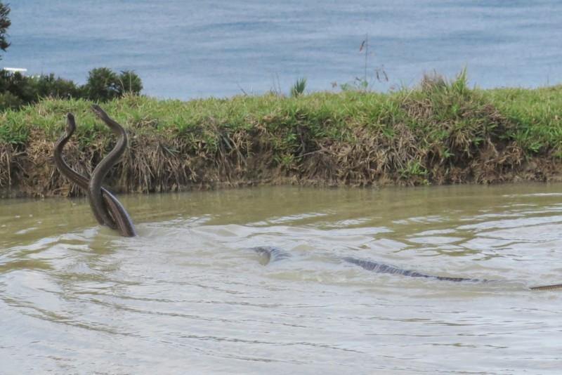2條南蛇在水塘旁激戰近30分鐘挺直身軀交纏激戰(楊政峰提供)