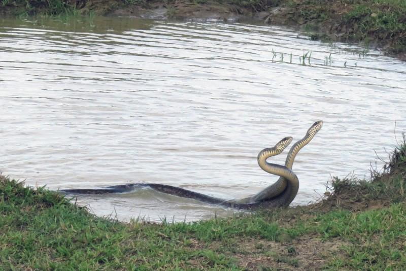 南蛇在水塘旁挺直身軀交纏激戰。(楊政峰提供)