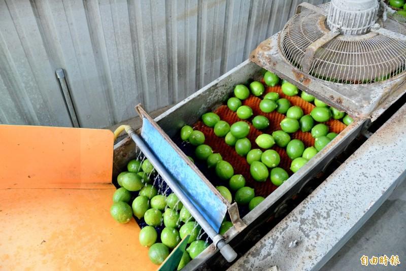 綠檸檬要採後處理成黃檸檬前,先將檸檬洗淨。(記者許麗娟攝)
