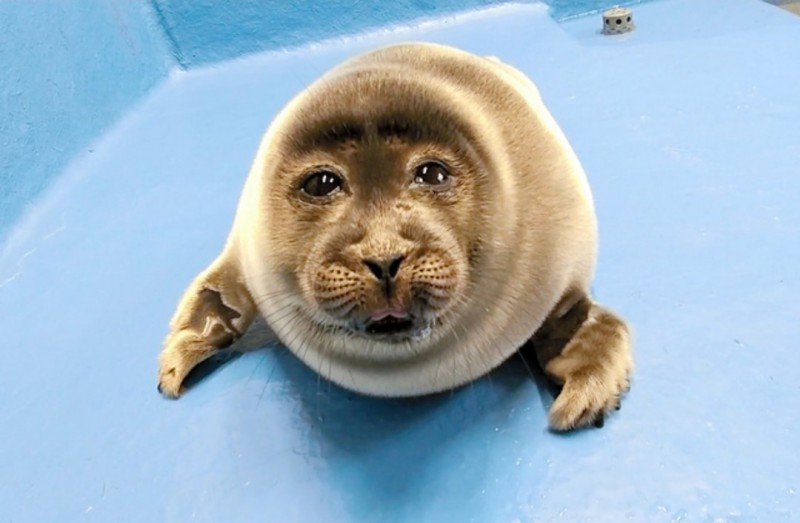 「大叔臉」海豹寶寶在網路上爆紅。(擷取自推特)