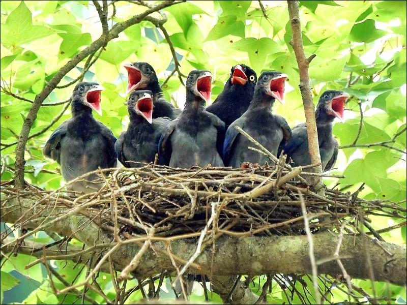 台北市立動物園在溫帶動物區周圍拉起「藍鵲育幼專區」封鎖線,保護遊客。(台北市立動物園提供)