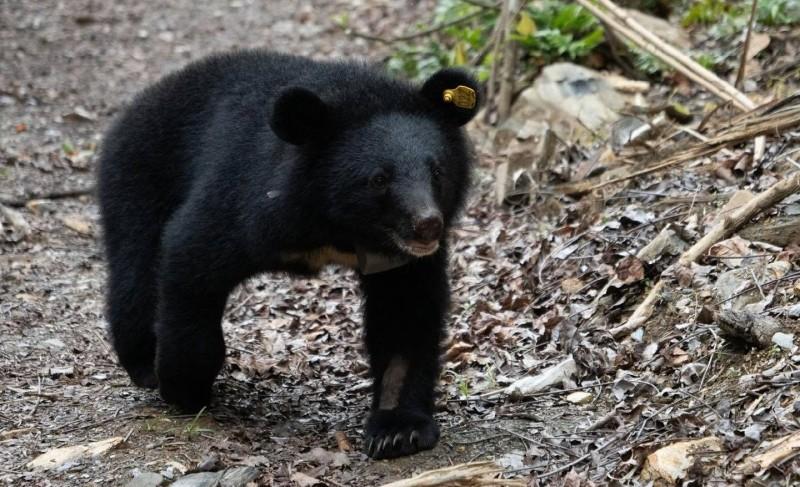 廣原小熊在野放前已經長得「熊」壯威武。(取自台東林管處臉書)