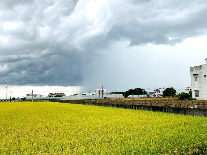 嘉義縣民在新港鄉一處還未收割的稻田前,拍下壯闊的雨瀑景象。(民眾提供)
