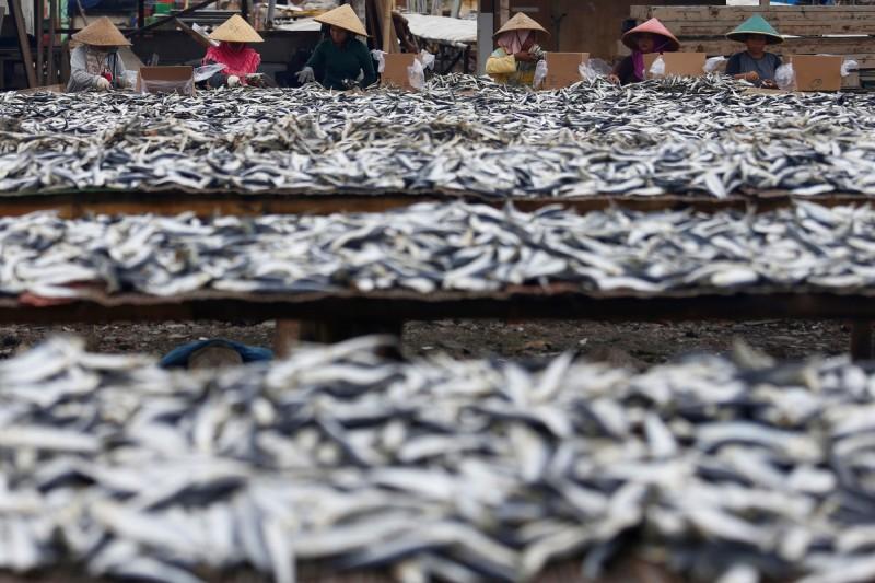 聯合國糧農組織發表雙年度報告指出,由於消費量增加,全球有逾三分之一的漁產遭到過度捕撈,尤以發展中國家為嚴重。圖為印尼雅加達曬魚場。(路透)