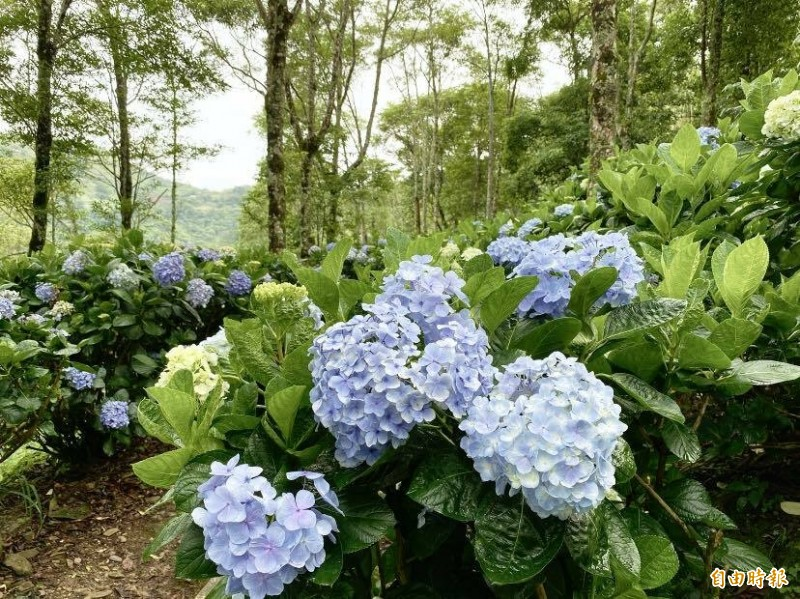 金針山繡球花盛開,浪漫靛藍驚豔迎賓,整個花期將持續到7月中旬。(記者陳賢義攝)
