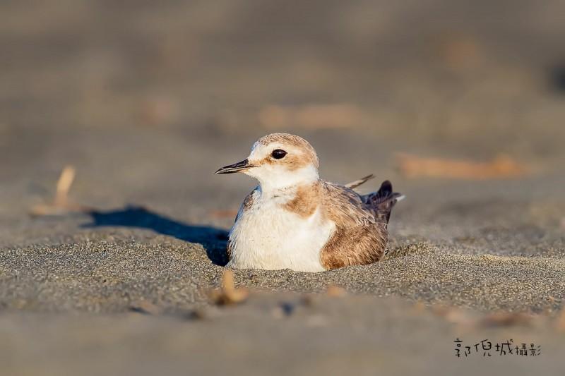 拍鳥俱樂部成員郭倪城到宜蘭縣頂寮海邊拍鳥,先拍一隻環頸鴴在海灘孵蛋。(圖由郭倪城提供)