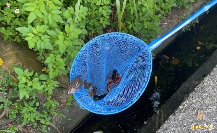 「小龍蝦」在又臭又髒水溝與垃圾為伍,竟然也能存活!(記者胡琪俐攝)