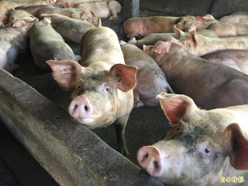 世界動物衛生組織今天晚上公告台灣為口蹄疫不施打疫苗非疫區,台灣豬肉可恢復外銷。(資料照,記者王峻祺攝)