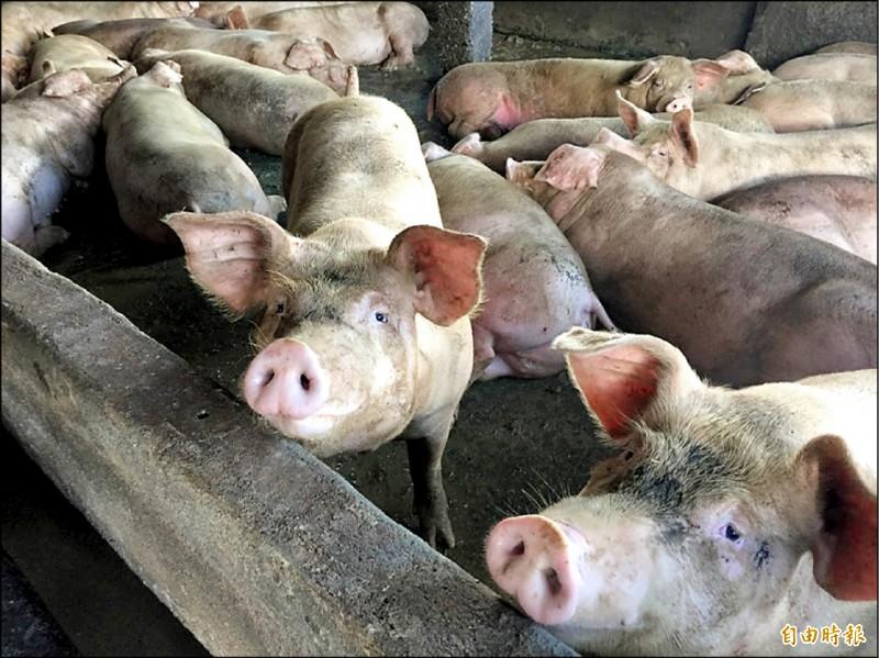 世界動物衛生組織今公告台灣為口蹄疫不施打疫苗非疫區,台灣豬肉可恢復外銷。(資料照,記者王峻祺攝)