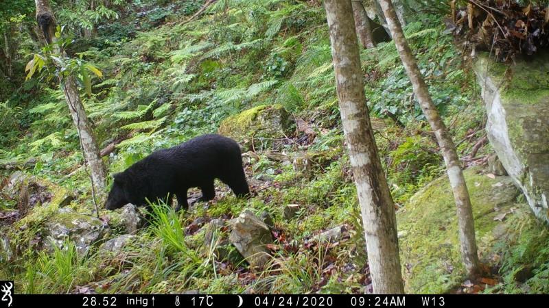 台灣黑熊近期頻繁出沒玉山東部園區,幾乎月月都有拍到黑熊身影。(玉管處提供)
