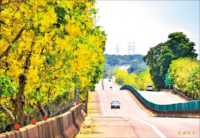 台84線頭社、二溪之間,因阿勃勒黃花滿開,各界搶拍,意外發現「波浪路」之美。(記者吳俊鋒攝)
