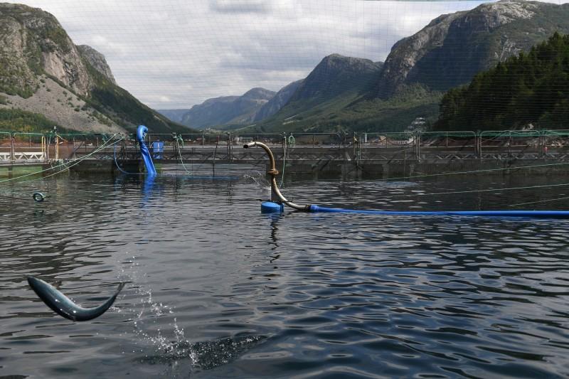 挪威鮭魚養殖場。(路透)