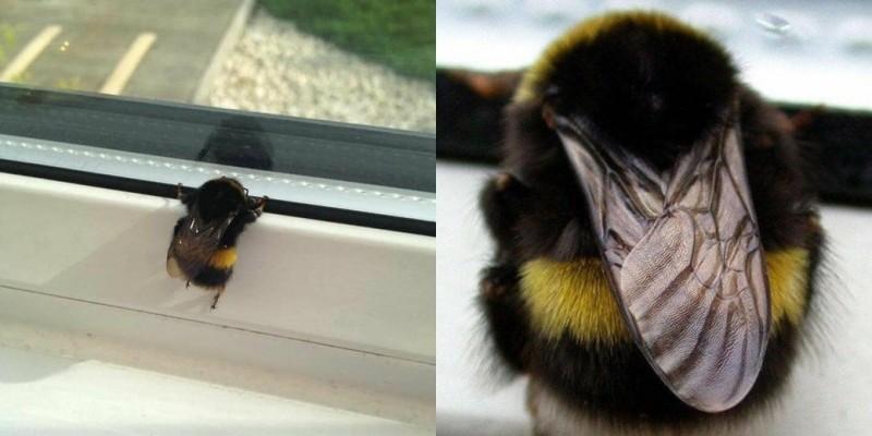 1隻胖嘟嘟、毛茸茸的熊蜂不慎飛入室內,趴在窗邊想要重回大自然懷抱。(圖取自爆廢公社)