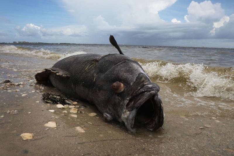 少女和家人釣魚時幸運釣到巨大「伊氏石斑魚」,且讓她創下世界紀錄。圖為伊氏石斑魚示意圖。(法新社)