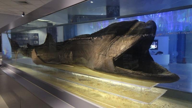 海保署承諾推動將巨口鯊納入保育類。(海保署提供)