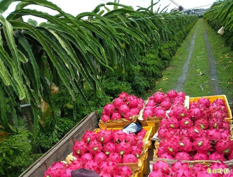 周弘恩堅持安全用藥與草生栽培理念,種出的紅龍果品質出眾,不受市場低迷影響,均能維持高價賣出。(記者陳冠備攝)
